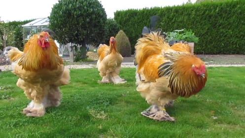 Brahma Tavuk Cinsi
