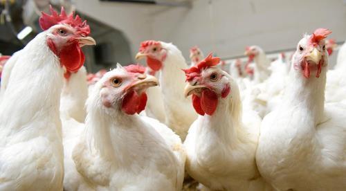 Büyük Taşlıklı Tavuklarda Verim