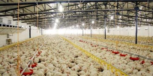 Tavukçulukta Hijyen ve Kümes Şartları