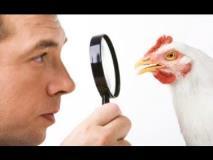 Tavuklarda Bakteriyel Solunum Sistemi Hastalıkları